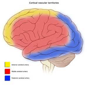 blood flow areas, human brain picture 1