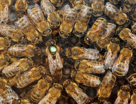 how many queen bees in a hive picture 6