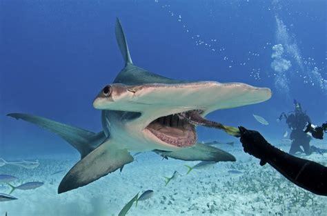great white shark teeth picture 14