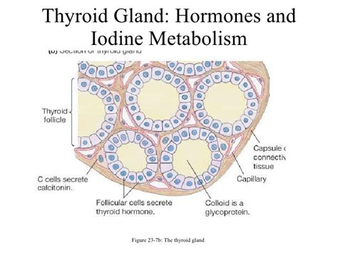 iodine and thyroid gland picture 5