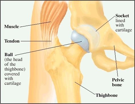 cartillage of the hip joint picture 11