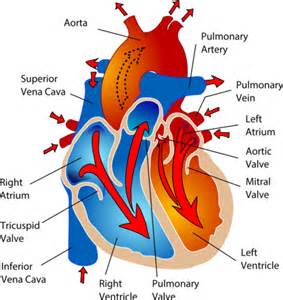 please review blood flow to and from the picture 10