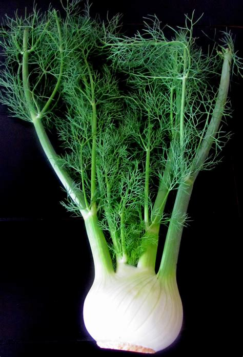 fennel picture 15