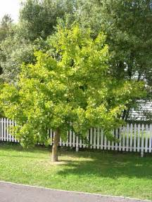 golden ginkgo picture 10