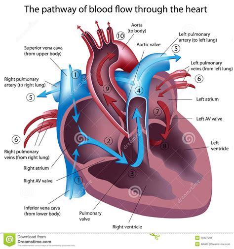 blood flow path picture 3