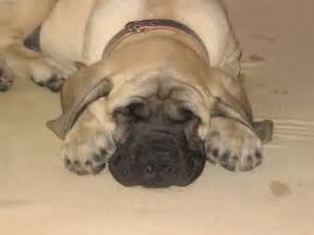 putting a mastiff to sleep picture 7