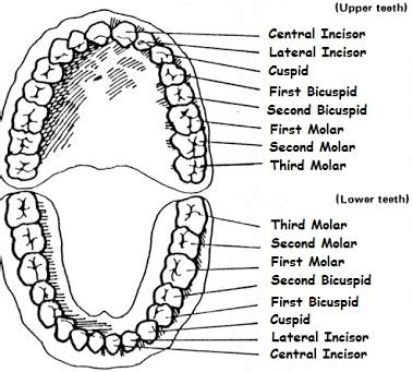 dental teeth picture 2