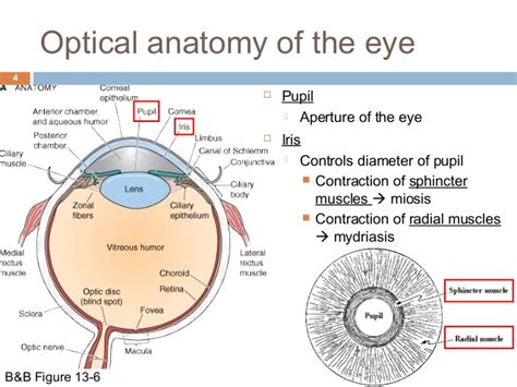 function of the ciliary muscle f picture 1