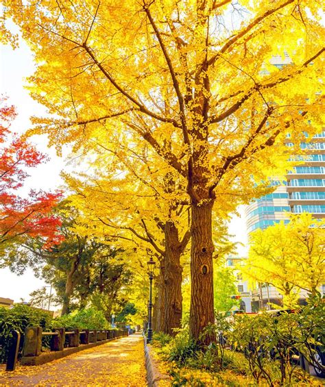 autumn gold ginkgo picture 6