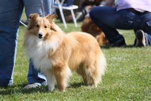 shelties h picture 3