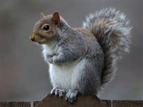 picture of squirrel h picture 13