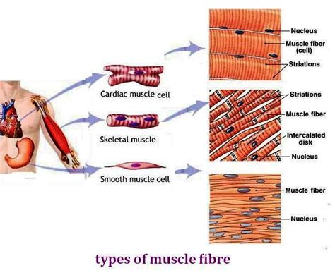 are smooth muscle multinucleated and spindled picture 5