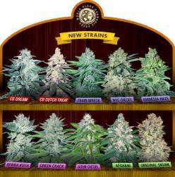 philippine cannabis indica seeds for sale picture 2