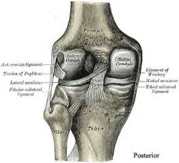 anatomy of knee joint picture 6