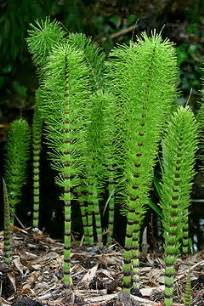search : wikipedia for horsetail herb picture 1