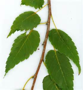 long term use of slippery elm picture 14