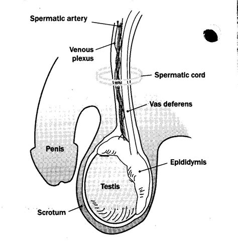 nerves found in the penis and ball sack picture 12