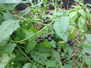 african herbs picture 17
