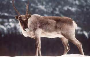 inuit caribou skin picture 11