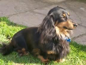 dachshund long hair picture 1