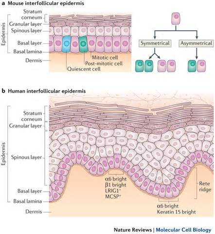 cell regeneration and skin picture 1