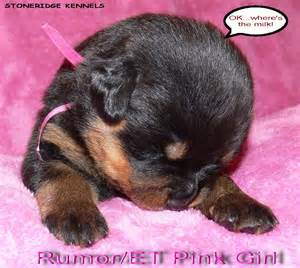 aging rotweiler picture 11