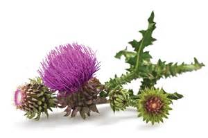 milk thistle extract picture 2