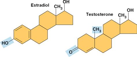 relationship between testosterone and estrogen picture 6