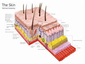 structure of the skin graphs picture 1