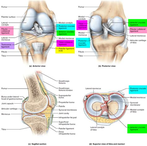 pictures of ligaments knee joint picture 10