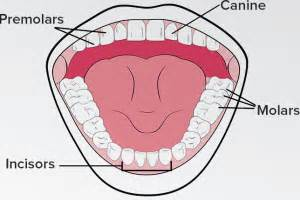 functions of our various teeth picture 18