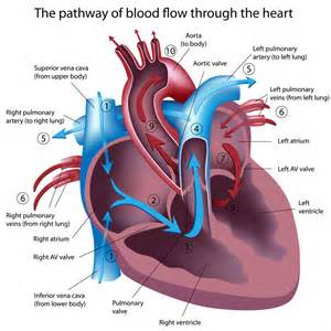 Blood flow of the heart picture 1