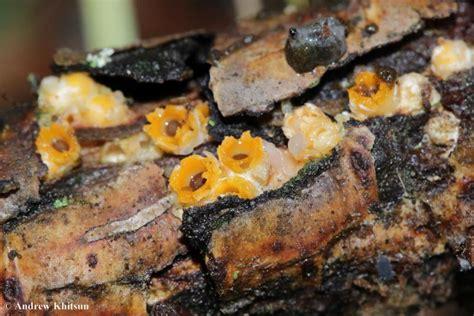 artillery fungus picture 3