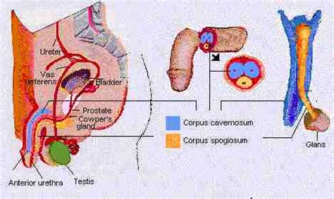 erection blood flow picture 2