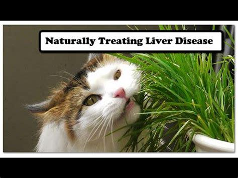 cat liver disease picture 15
