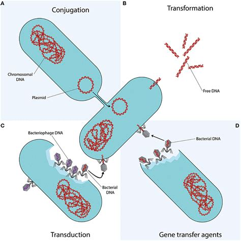 bacterial transformation method picture 15