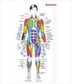 muscle chart picture 18