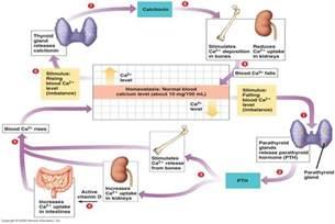 para thyroid hormone picture 5