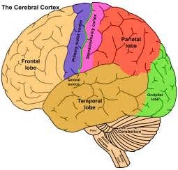 cerebral blood flow motor cortex picture 3