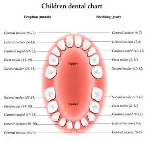 chart of your teeth picture 2