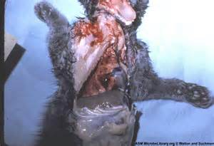 herpes in felines picture 5