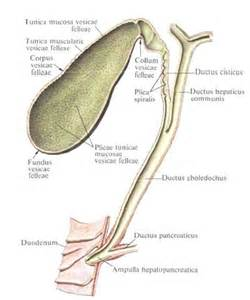 anatomy gall bladder picture 7