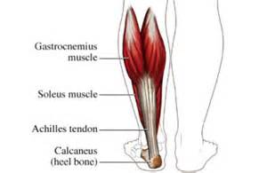 gastronemius muscle picture 2