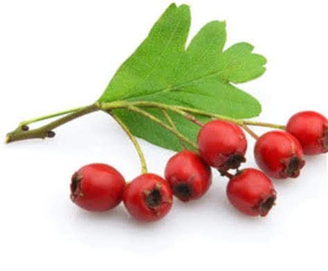 does hawthorn berry work picture 6
