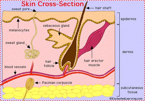 cross section of human skin picture 10