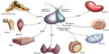 thyroid pulls hormones from the pituitary gland picture 14
