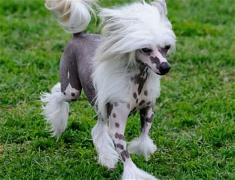 chinese crested dog skin disease picture 15