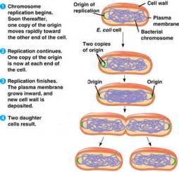 bacterial reproduction picture 5