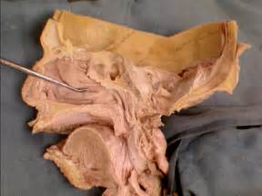 meatus of penis picture 15