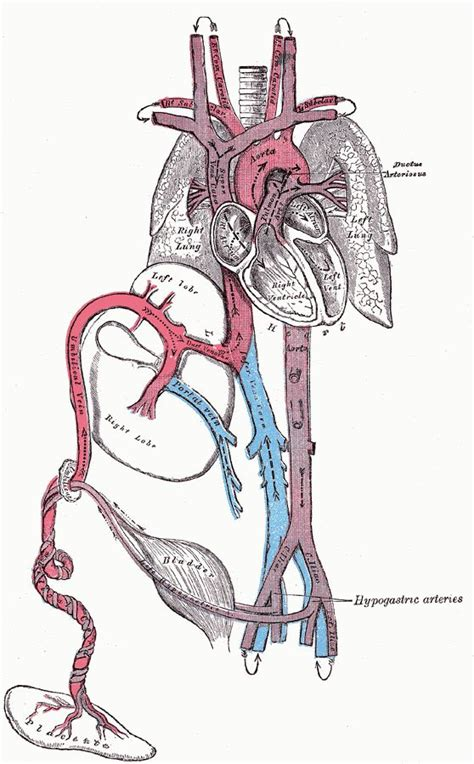 fetal circulation-human anatomy picture 7